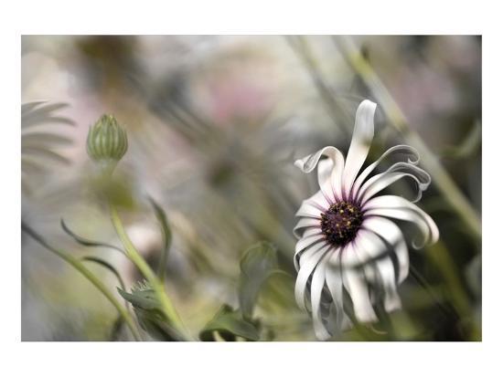 Silver Daisy I-Karin Connolly-Art Print