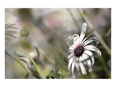 https://imgc.artprintimages.com/img/print/silver-daisy-i_u-l-f748z80.jpg?p=0