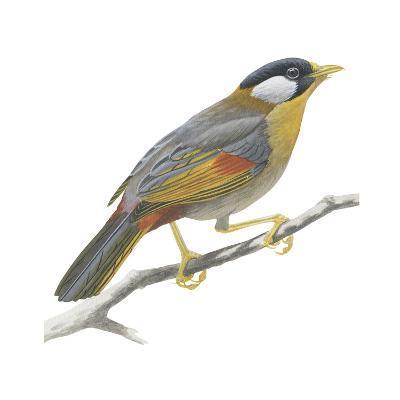 Silver-Eared Mesia (Leiothrix Argentauris), Birds-Encyclopaedia Britannica-Art Print