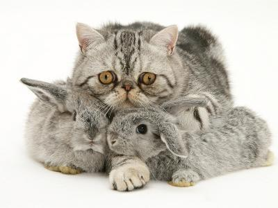 Silver Exotic Cat Cuddling up with Two Baby Silver Rabbits-Jane Burton-Photographic Print