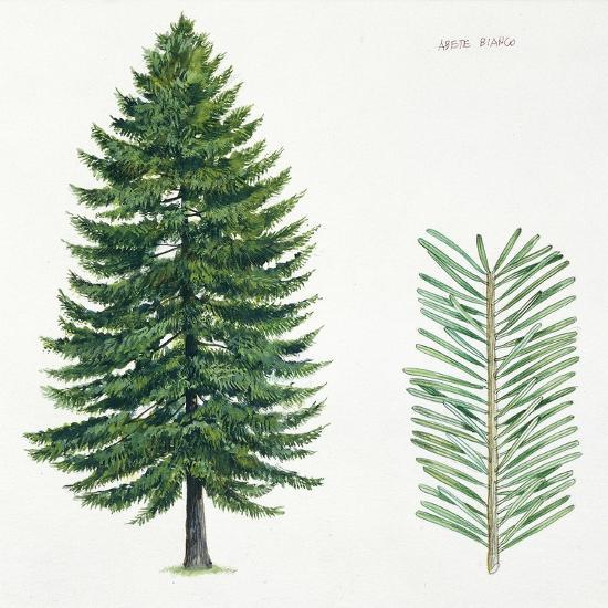 Silver Fir Abies Alba Tree And Needles Giclee Print By Artcom