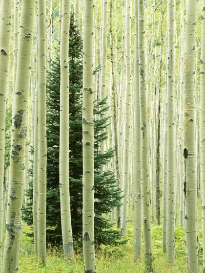 Silver FIr in Aspen Grove, White River National Forest, Colorado, USA-Charles Gurche-Photographic Print