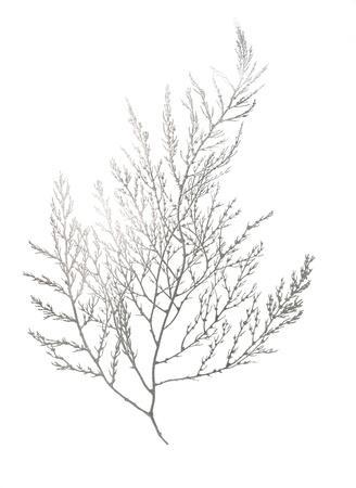 Silver Foil Algae II-Jennifer Goldberger-Art Print