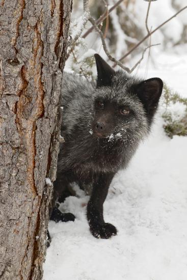 Silver Fox A Melanistic Form Of The Red Fox Montana Premium Photographic Print By Adam Jones Artcom