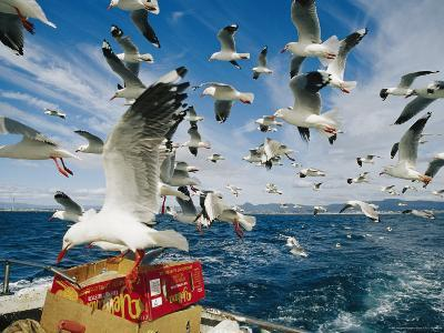 Silver Gulls Feed on Fish Scraps on the Back of a Boat-Jason Edwards-Photographic Print