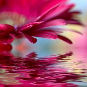 Closeup Of Pink Daisy-Gerbera With Soft Focus Reflected In The Water by silver-john