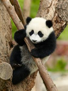 Giant Panda Baby over the Tree by silver-john