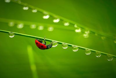 Ladybug And Waterdrops by silver-john