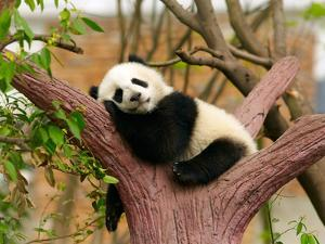 Sleeping Giant Panda Baby by silver-john