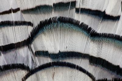 Silver Pheasant Fanned Out Feathers-Darrell Gulin-Photographic Print