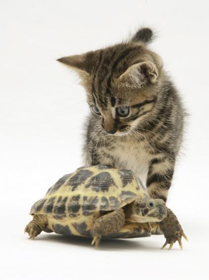 Silver Tabby Kitten Looking at a Hermann's Tortoise Walking-Jane Burton-Photographic Print