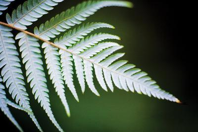 Silver Tree Fern II-Bob Stefko-Photographic Print