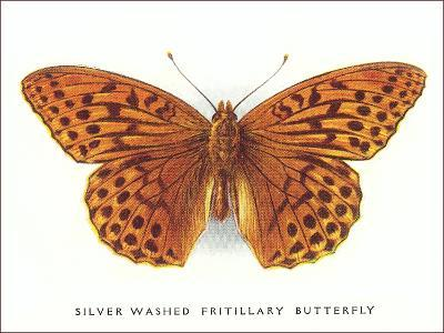 Silver-Washed Fritillary Butterfly-Found Image Press-Art Print