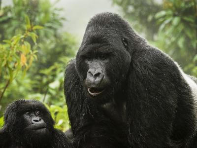 Silverback Agashya and Baby in Group 13 Gorilla Family-Douglas Steakley-Photographic Print