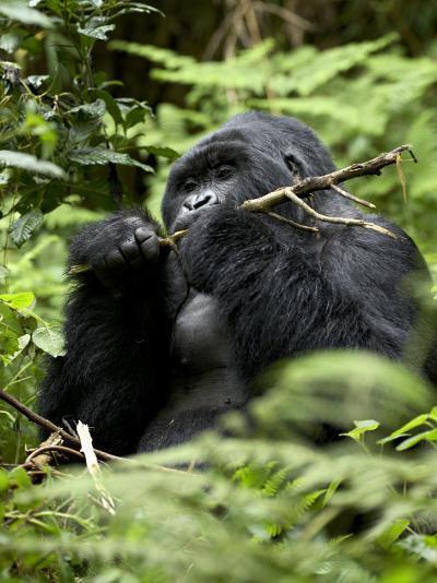 Silverback Mountain Gorilla (Gorilla Gorilla Beringei), Group 13, Volcanoes National Park, Rwanda-James Hager-Photographic Print