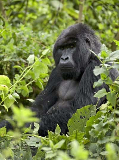 Silverback Mountain Gorilla (Gorilla Gorilla Beringei), Shinda Group, Volcanos National Park-James Hager-Photographic Print