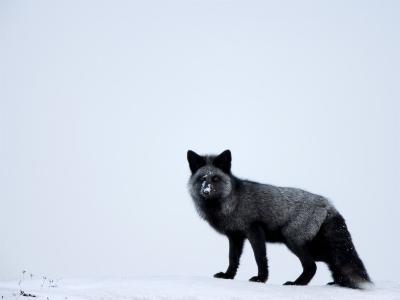 Silverfox (Red Fox) (Vulpes Vulpes), Churchill, Hudson Bay, Manitoba, Canada-Thorsten Milse-Photographic Print