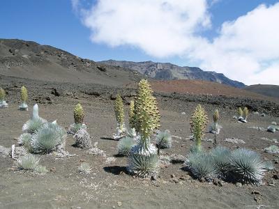Silverswords, Growing in Vast Crater of Haleakala, Maui-Robert Francis-Photographic Print