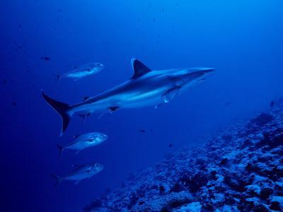 Silvertip Shark, with Caranx, Polynesia-Gerard Soury-Photographic Print