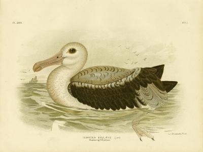 Silvery-Grey Petrel, 1891-Gracius Broinowski-Giclee Print