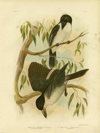 Silverys-Backed Crow-Shrike or Silver-Backed Butcherbird, 1891-Gracius Broinowski-Giclee Print