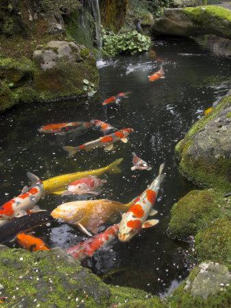 Colourful Carp in Typical Japanese Garden Pond, Higashiyama, Kyoto, Kansai, Honshu, Japan