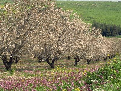 Winter Flowers and Almond Trees in Blossom in Lower Galilee, Israel, Middle East