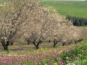 Winter Flowers and Almond Trees in Blossom in Lower Galilee, Israel, Middle East by Simanor Eitan