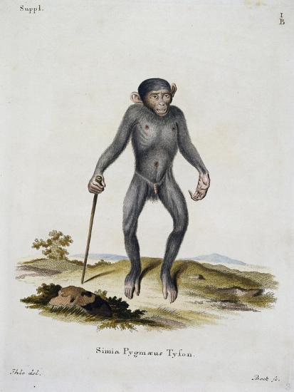 Simia Pygmaeus--Giclee Print