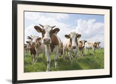 Simmental Cattle Cows in Meadow--Framed Photographic Print