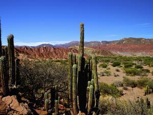 Cacti in Canon del Inca, Tupiza Chichas Range, Andes, Southwestern Bolivia, South America by Simon Montgomery