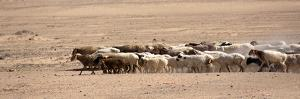 Sheep in China by Simon Yu