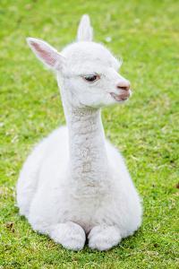 Cute Baby Alpaca by sinagrafie