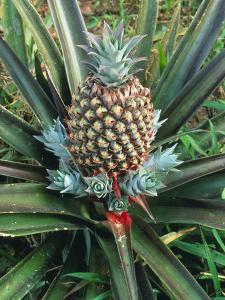 Pineapple Plant with Fruit by Sinclair Stammers