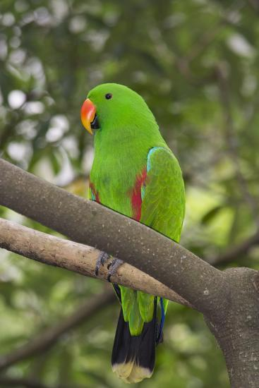 Singapore. Colorful Green Parrot-Cindy Miller Hopkins-Photographic Print