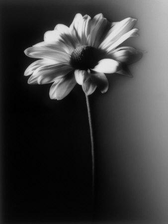 https://imgc.artprintimages.com/img/print/single-daisy_u-l-p3ik9d0.jpg?p=0