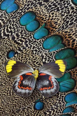 https://imgc.artprintimages.com/img/print/single-delias-butterfly-underside-on-malayan-peacock-pheasant-feathers_u-l-pypifs0.jpg?p=0