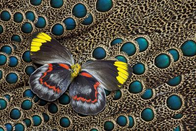 Single Delias Butterfly Underside on Malayan Peacock-Pheasant Feathers-Darrell Gulin-Photographic Print