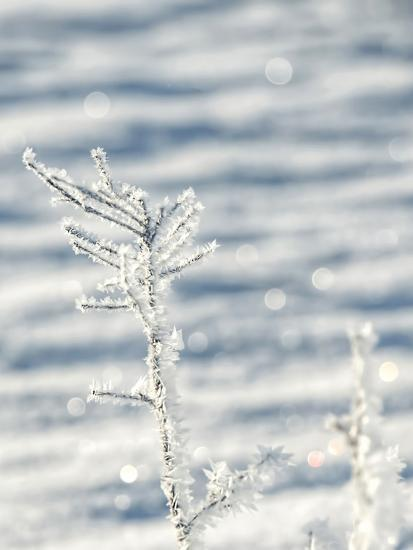 Single Frosty Branch-Grab My Art-Art Print