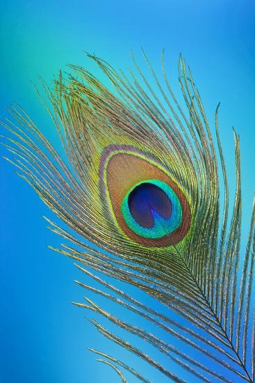 Single Male Peacock Tail Feather Against Colorful Background-Darrell Gulin-Photographic Print