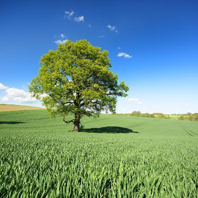 Single Oak in Grain Field in Spring, Back Light, Burgenlandkreis, Saxony-Anhalt, Germany-Andreas Vitting-Photographic Print