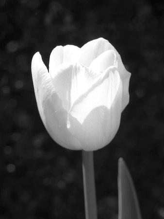 https://imgc.artprintimages.com/img/print/single-open-tulip_u-l-q10pffc0.jpg?p=0