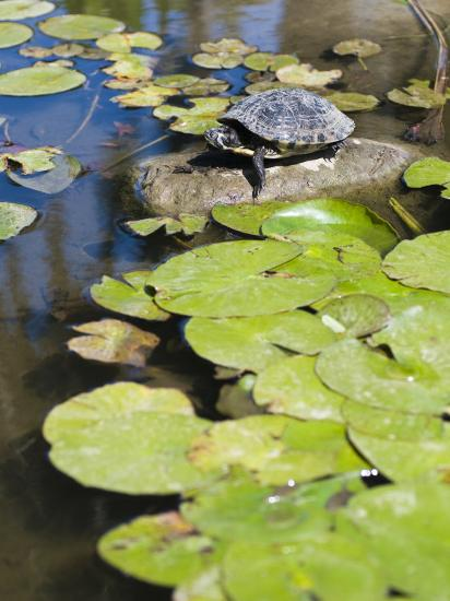 Single Red-Eared Slider Turtle on Rock in a Pond, Trachemys Scripta-James Forte-Photographic Print