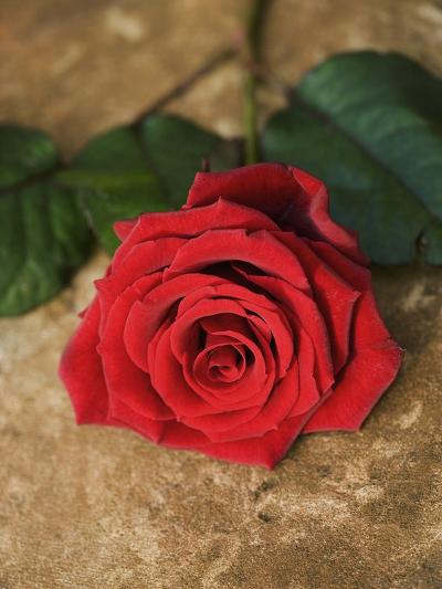 Single Red Rose on Stone Floor-Clive Nichols-Photographic Print