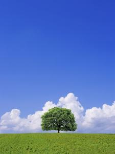 Single tree in a field under a blue sky. Hokkaido, Japan