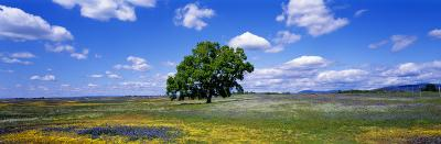 Single Tree in Field of Wildflowers, Table Mountain, Oroville, California, USA--Photographic Print