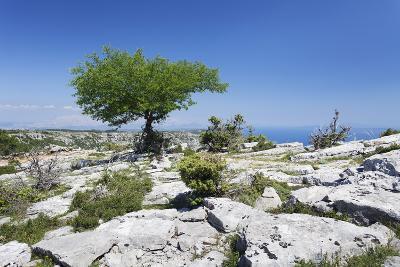 Single Tree on a Plateau, Vidova Gora, Brac Island, Dalmatia, Croatia, Europe-Markus Lange-Photographic Print