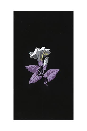 Single White Morning Glory Flower with Purple Leaves on Black--Art Print