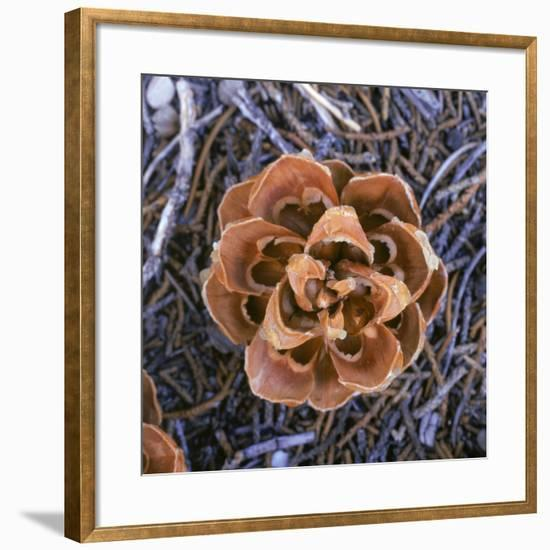 Singleleaf Pinyon Pine Cone, Pinus Monophylla, Nevada-Reynolds Trish-Framed Photographic Print