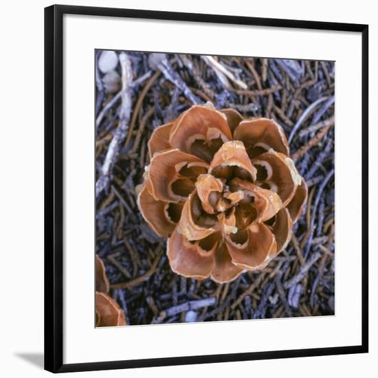 Singleleaf Pinyon Pine Cone, Pinus Monophylla, Nevada-Reynolds Trish-Framed Photographic Print